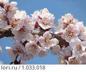 Цвет абрикосовой ветви. Стоковое фото, фотограф Дмитрий Янкин / Фотобанк Лори