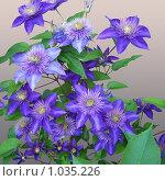 Фиолетовые цветы на сером фоне. Стоковое фото, фотограф Алина Русакова / Фотобанк Лори
