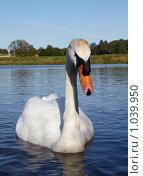 Купить «Белый лебедь», фото № 1039950, снято 31 июля 2009 г. (c) Максим Горпенюк / Фотобанк Лори