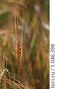 Купить «Пшеничный колос на поле», эксклюзивное фото № 1046398, снято 1 августа 2009 г. (c) lana1501 / Фотобанк Лори