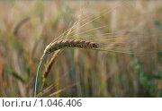 Купить «Пшеничный колос на поле», эксклюзивное фото № 1046406, снято 1 августа 2009 г. (c) lana1501 / Фотобанк Лори