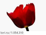 Красный тюльпан. Стоковое фото, фотограф Наталья Ревкина / Фотобанк Лори