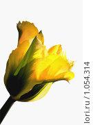 Желтый тюльпан. Стоковое фото, фотограф Наталья Ревкина / Фотобанк Лори