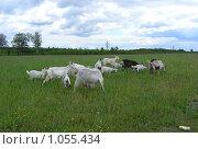 Купить «Стадо домашних коз пасется на лугу летом (лат. Capra aegagrus hircus)», эксклюзивное фото № 1055434, снято 26 июня 2008 г. (c) lana1501 / Фотобанк Лори