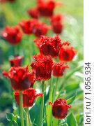 Купить «Пламенеющие тюльпаны», эксклюзивное фото № 1056934, снято 9 мая 2009 г. (c) Svet / Фотобанк Лори