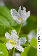 Купить «Цветы кислицы с каплями росы», фото № 1057250, снято 31 мая 2009 г. (c) Александр Рощин / Фотобанк Лори