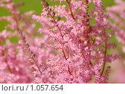 Розовые астильбе, крупный план. Стоковое фото, фотограф Моисеева Галина / Фотобанк Лори