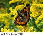 Бабочка крапивница на золотарнике. Стоковое фото, фотограф Iv Merlu / Фотобанк Лори