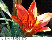 Цветок лилии на темном фоне. Стоковое фото, фотограф Шишмарев Александр / Фотобанк Лори