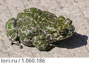 Пятнистая жаба. Стоковое фото, фотограф Сергей Васильев / Фотобанк Лори