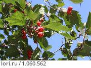 Красные ягоды. Стоковое фото, фотограф ПАВЕЛ ЧУПРИНА / Фотобанк Лори