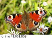 Купить «Павлиний глаз», фото № 1061802, снято 30 августа 2009 г. (c) Андрей Ерофеев / Фотобанк Лори