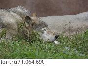 Купить «Волк», фото № 1064690, снято 31 августа 2009 г. (c) Максим Кузнецов / Фотобанк Лори