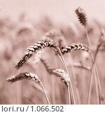 Купить «Колосья пшеницы, тонирование», фото № 1066502, снято 27 июля 2009 г. (c) Архипова Мария / Фотобанк Лори