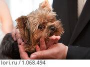 Купить «Йоркширский терьер на руках», фото № 1068494, снято 11 июня 2009 г. (c) Константин Мартынов / Фотобанк Лори