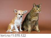 Купить «Чихуахуа и кошка», фото № 1070122, снято 2 ноября 2008 г. (c) Vladimir Suponev / Фотобанк Лори