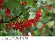 Красная смородина. Стоковое фото, фотограф Кристина Гончарова / Фотобанк Лори
