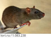 Купить «Крыса», эксклюзивное фото № 1083238, снято 10 сентября 2009 г. (c) Яна Королёва / Фотобанк Лори