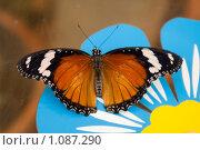 Купить «Danaus plexippus - бабочка (Монарх)», фото № 1087290, снято 7 апреля 2009 г. (c) Sergey Kohl / Фотобанк Лори