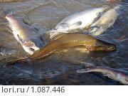 Нерест горбуши, фото № 1087446, снято 4 сентября 2009 г. (c) RedTC / Фотобанк Лори