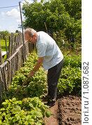 Купить «Пожилой мужчина, пенсионер работает в огороде. Обработка гряды с клубникой», фото № 1087682, снято 8 июля 2009 г. (c) Светлана Силецкая / Фотобанк Лори