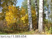 Купить «Стволы берёз на фоне желтых кленовых листьев», фото № 1089654, снято 5 октября 2008 г. (c) Полина Столбушинская / Фотобанк Лори
