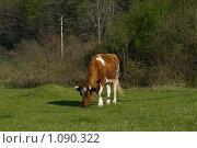 Купить «Рыжая корова на лугу», фото № 1090322, снято 11 апреля 2009 г. (c) Светлана Щекина / Фотобанк Лори