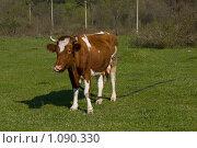 Купить «Рыжая корова на лугу», фото № 1090330, снято 11 апреля 2009 г. (c) Светлана Щекина / Фотобанк Лори
