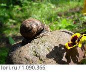 Купить «Улитка, камень, цветок,», фото № 1090366, снято 21 июня 2009 г. (c) Галина Гуреева / Фотобанк Лори