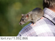 Купить «Крыса», фото № 1092866, снято 14 сентября 2009 г. (c) Яна Королёва / Фотобанк Лори