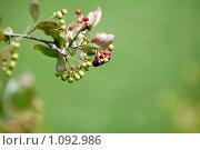 Ветка с ягодой. Стоковое фото, фотограф Петр Крупенников / Фотобанк Лори