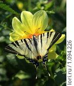 Купить «Бабочка махаон на жёлтом цветке», фото № 1094226, снято 17 июля 2008 г. (c) Истомина Елена / Фотобанк Лори