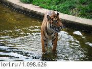 Тигр. Стоковое фото, фотограф Оксана Шагова / Фотобанк Лори