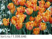 Тюльпаны. Стоковое фото, фотограф Оксана Шагова / Фотобанк Лори