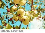 Яблоки. Стоковое фото, фотограф Ilogin / Фотобанк Лори