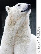 Купить «Белый медведь», фото № 1103358, снято 11 августа 2009 г. (c) Наталья Наточина / Фотобанк Лори