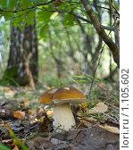 Купить «Грибы Мещеры - белый гриб», фото № 1105602, снято 10 сентября 2009 г. (c) Инна Грязнова / Фотобанк Лори