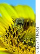 Мух в пыльце. Стоковое фото, фотограф Артём Картушин / Фотобанк Лори