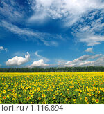 Купить «Поле с подсолнухами под синим небом», фото № 1116894, снято 10 августа 2008 г. (c) Михаил Коханчиков / Фотобанк Лори