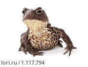 Любопытная жаба. Стоковое фото, фотограф Ольга Киселева / Фотобанк Лори
