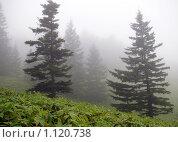 Купить «Ели в утреннем тумане и курильский бамбук», фото № 1120738, снято 24 сентября 2009 г. (c) RedTC / Фотобанк Лори