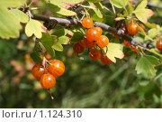 Купить «Каренда, ветка с жёлтыми ягодами», фото № 1124310, снято 14 августа 2009 г. (c) Григорий Писоцкий / Фотобанк Лори