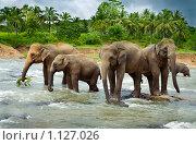 Купить «Стадо диких индийских слонов переходит реку», фото № 1127026, снято 4 августа 2009 г. (c) Алексей Кузнецов / Фотобанк Лори