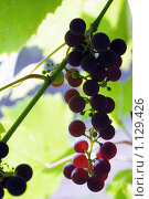 Купить «Виноградная лоза на просвет», фото № 1129426, снято 13 сентября 2009 г. (c) Игорь Гришаев / Фотобанк Лори