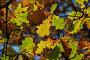 Ветки дуба с пожелтевшими листьями, эксклюзивное фото № 1129894, снято 3 октября 2009 г. (c) lana1501 / Фотобанк Лори