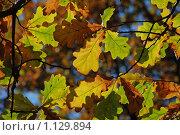 Купить «Ветки дуба с пожелтевшими листьями», эксклюзивное фото № 1129894, снято 3 октября 2009 г. (c) lana1501 / Фотобанк Лори