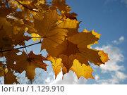 Купить «Кленовые пожелтевшие листья на фоне голубого неба», эксклюзивное фото № 1129910, снято 3 октября 2009 г. (c) lana1501 / Фотобанк Лори