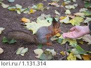 Купить «Белки в московских парках едят прямо из рук», фото № 1131314, снято 4 октября 2009 г. (c) Наталья Волкова / Фотобанк Лори