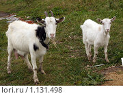 Купить «Коза с козленком», фото № 1131498, снято 26 сентября 2009 г. (c) Наталья / Фотобанк Лори