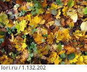 Ковер из листьев. Стоковое фото, фотограф Анатолий Сверчков / Фотобанк Лори